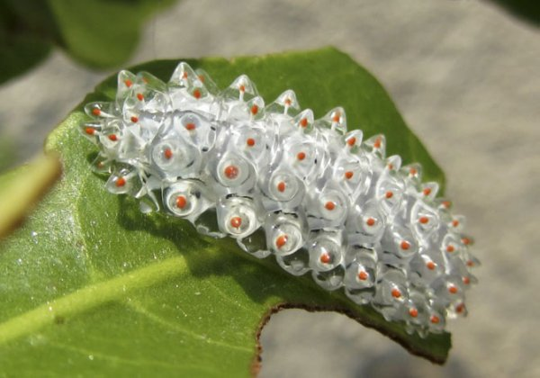Кристальная гусеница (12 фото)