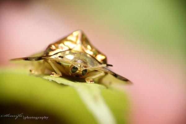 Жук Золотая Черепаха (10 фото)