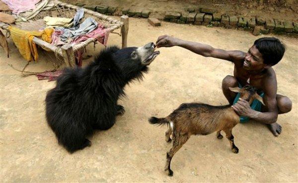 Медведь из индийской семьи (7 фото)