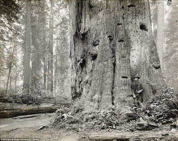 Лесорубы и гигантские секвойи (5 фото)