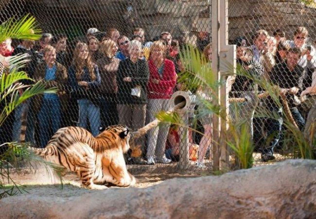 Перетягивание каната с тигром (6 фото)