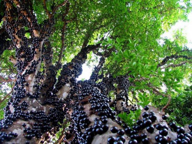 Джаботикаба - дерево, на котором растут ягоды (10 фото)
