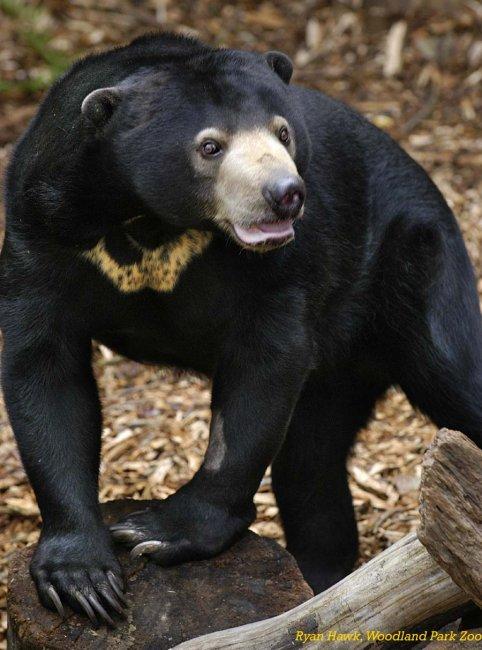 Малайский медведь — самый маленький медведь в мире (9 фото)