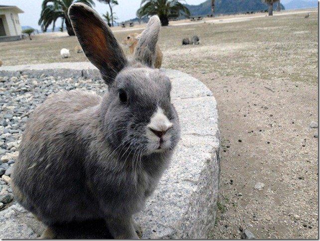Остров кроликов в Японии (21 фото)