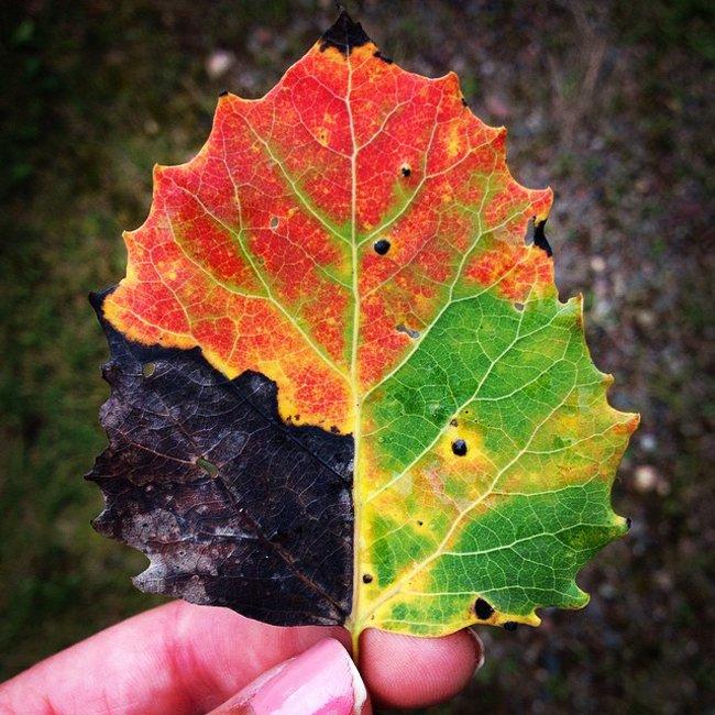 Лист окрашенный цветами всех сезонов года (фото дня - 04.09.2014 г.)