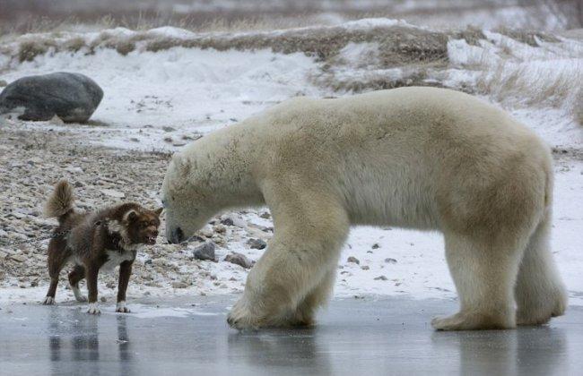 Белый медведь против собаки (10 фото)