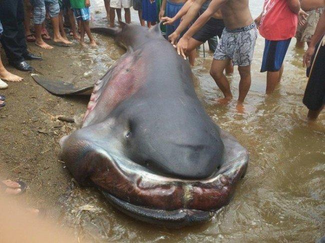 Картинки по запросу плащеносная акула