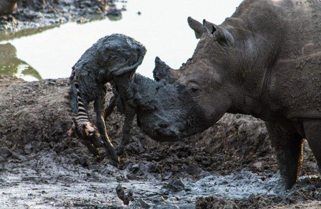 Носорог вытащил зебру из грязи (5 фото)