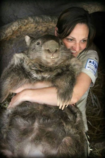 Самый старый и большой вомбат в мире (8 фото)