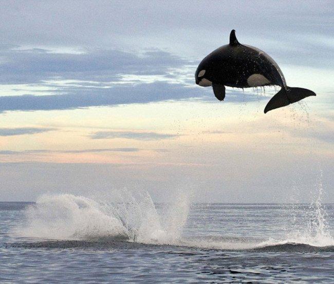 Косатка и дельфин (4 фото)