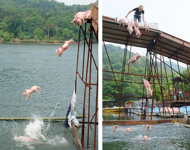 Заплыв свиней в Китае (4 фото)