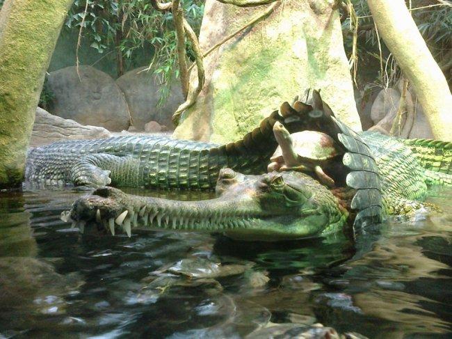 Верхом на крокодиле (фото дня)