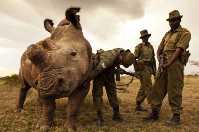 Единственный в мире самец белого носорога (6 фото)