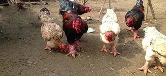 Слоновые курицы донг тау (5 фото)