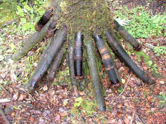 Iriartea gigantea – пальма с самой необычной формой корней (6 фото)