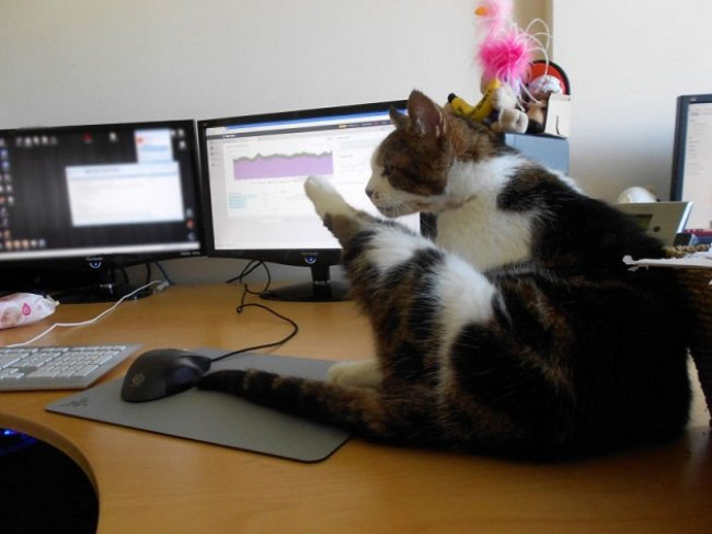Японская фирма Ferray Corporation разрешила сотрудникам приносить кошек на работу (10 фото)