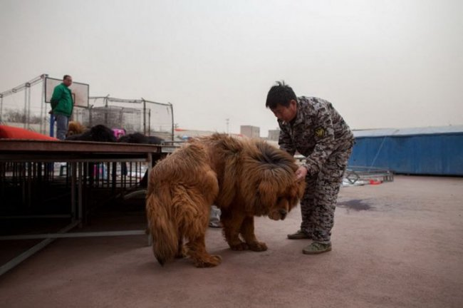 Распродажа тибетских мастифов за 1 000 000 долларов (11 фото)