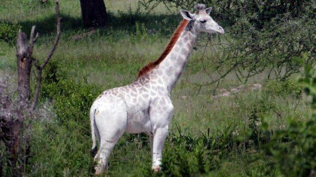 Фотография редкого белого жирафа (фото дня)