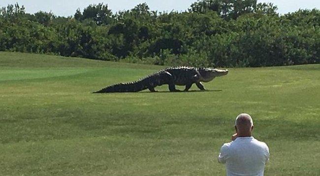 Крокодил на поле для гольфа (2 фото + видео)