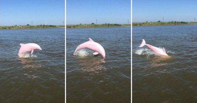 Обнаружен редкий розовый дельфин (3 фото + видео)