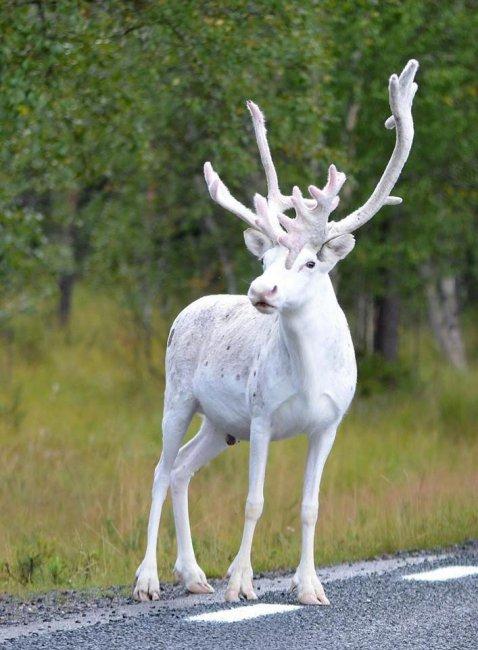 Редкий белый олень в Швеции (фото дня)