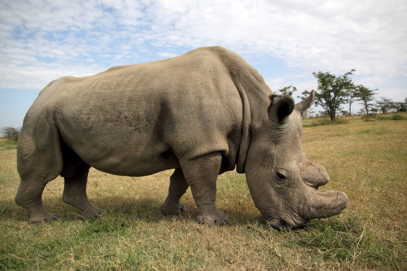 В Кении умер самый последний носорог альбинос