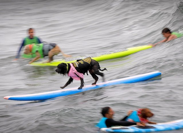 В Сан-Диего прошли соревнования по сёрфингу среди собак