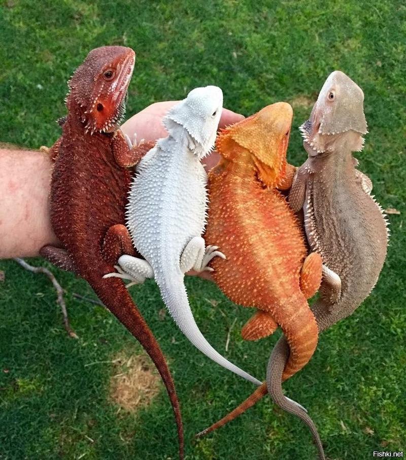 Разноцветные бородатые ящерицы Агама