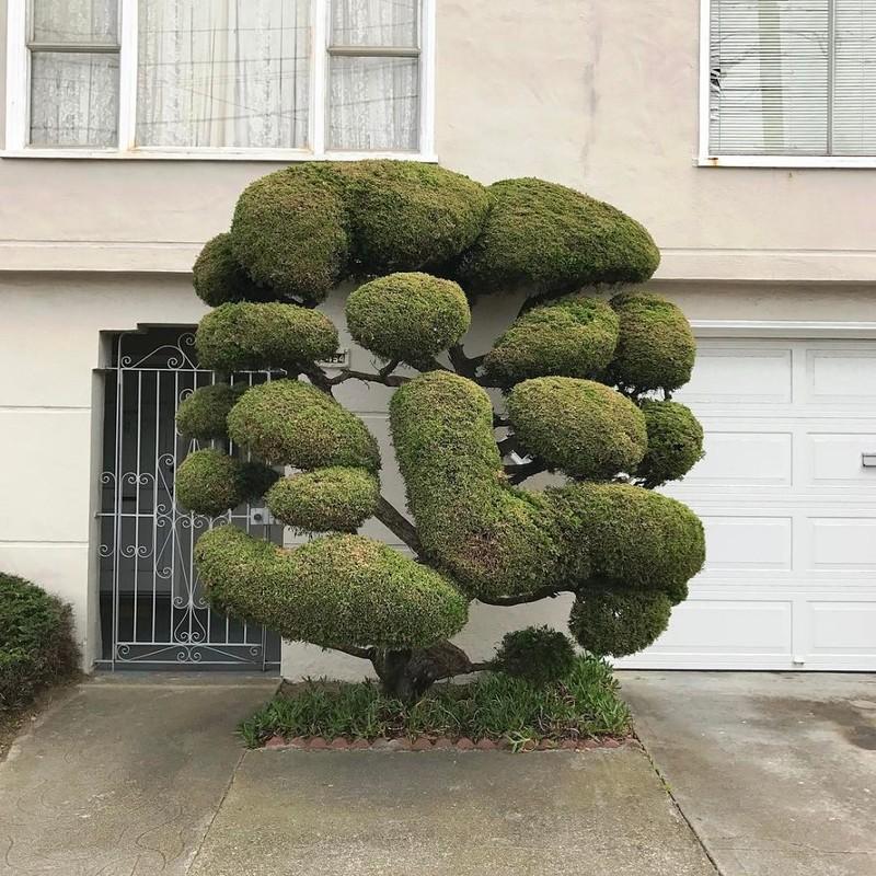 Деревья необычной формы растут в Сан-Франциско