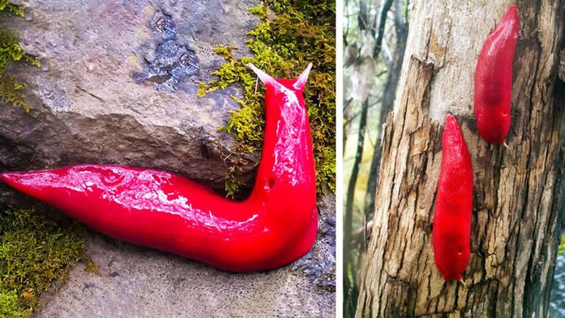 Необычный красный слизняк из Австралии (фото дня)