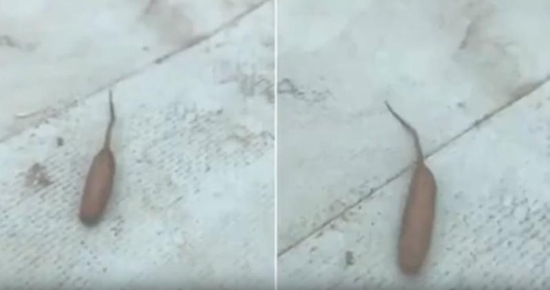 В Австралии нашли движущуюся  сосиску с хвостом (видео дня)