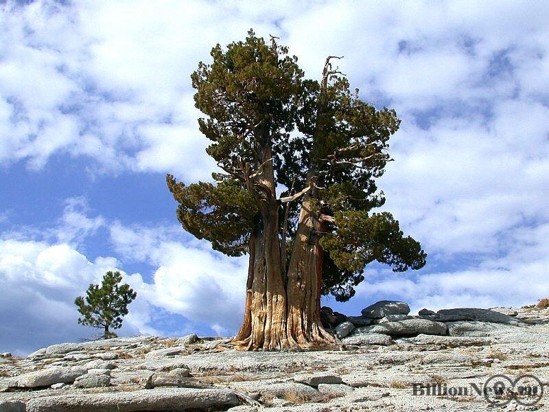 Самый старый живой организм на Земле (фото дня)