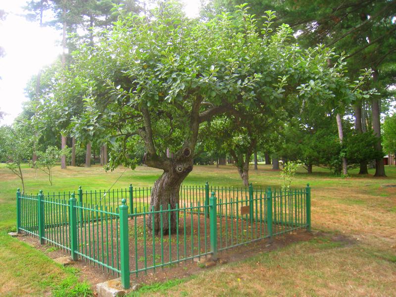 Яблоня Ньютона (фото дня)