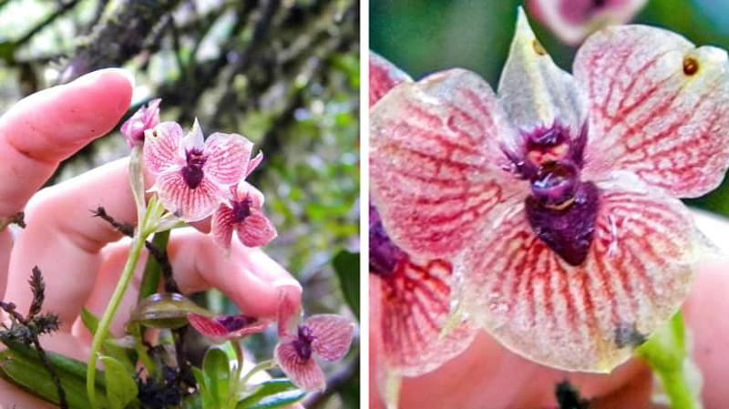 Орхидея дьявола (фото дня)