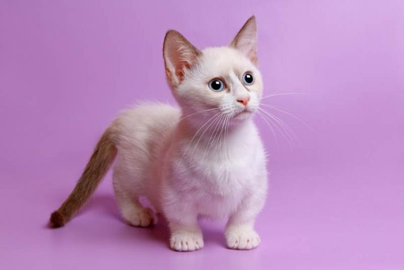 Всё о котиках породы манчкин