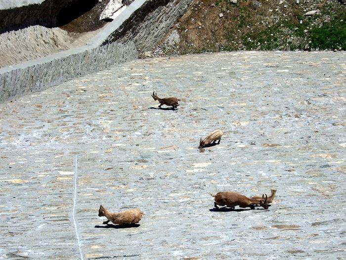 Почему горный козел назван горным?