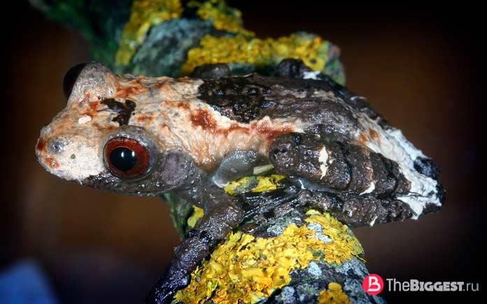 Самые маленькие лягушки в мире