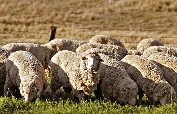 Овца, отбившаяся от отары, найдена 5 лет спустя