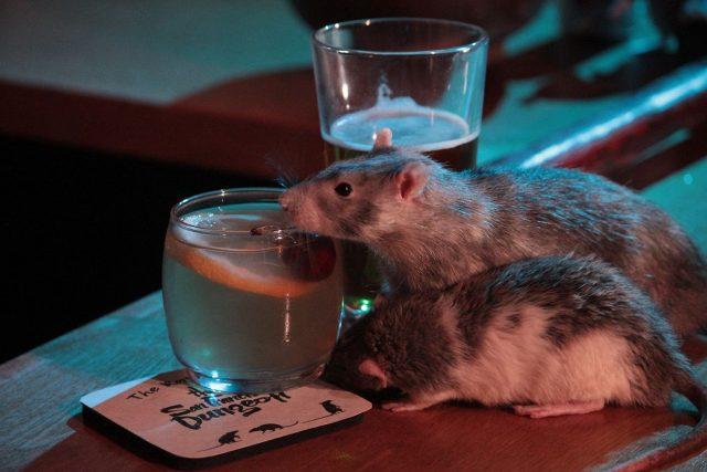"""Необычный бар """"крыс"""" в США (видео)"""