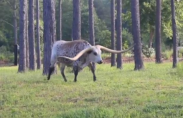 Гигантский бык стал мировым рекордсменом
