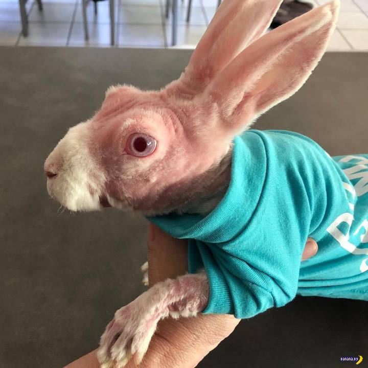 Лысый кролик стал интернет-мемом