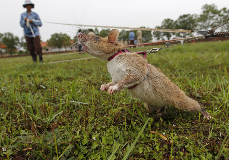 Крысы-саперы из Камбоджи (15 фото)