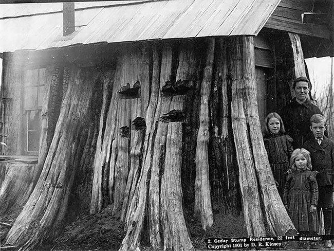 Гигантские пни-дома в Америке XIX века (12 фото)