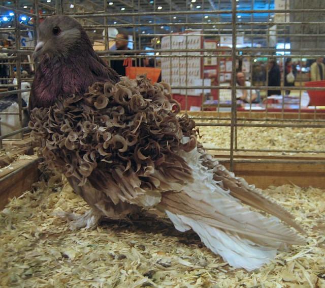 Голуби Frillback: порода декоративных голубей с вьющимися от природы перьями (5 фото + 2 видео)