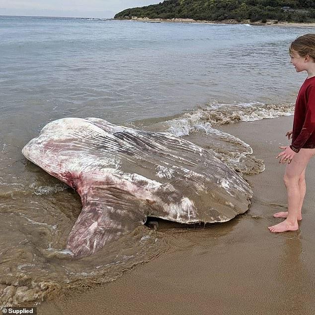 На берег Австралии вынесло огромную «инопланетную» рыбу