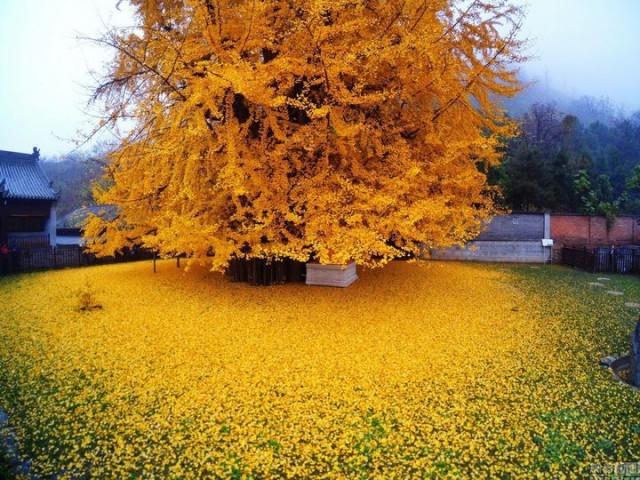 Чтобы увидеть это потрясающе красивое дерево, своё посещение этого храма нужно бронировать заранее (6 фото + видео)